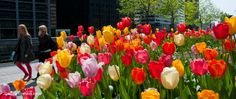 Tulip Big Ups ® | Mid Spring Blooming Bulbs for Sale | COLORBLENDS