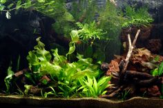 New to fishkeeping? This planted aquarium is easy to set up, and is suitable for beginners who would like to grow live plants in their community tank. For our set-up, the aquarium we chose was a Juwel Trigon 190 with dark wood cabinet. The tank is a bow front corner aquarium which, due to i