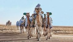 Natural splendour: A train of camels are led across the desert International Photography Awards, Richest In The World, Old Egypt, White Queen, Camels, World's Biggest, Cute Animals, Gallery, Places