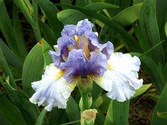 TB Iris germanica 'Stormy Seas' (Jones, 1979)