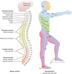 What your spine controls.