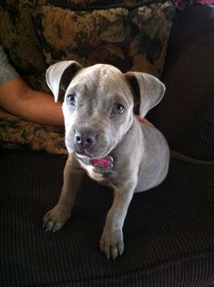 Cute Bluenose Pitbull named Princess Leia