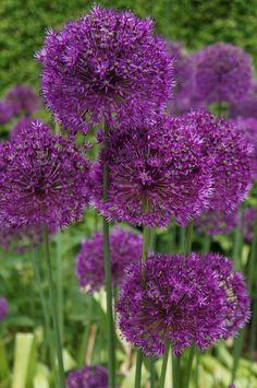 Purple Majesty outside