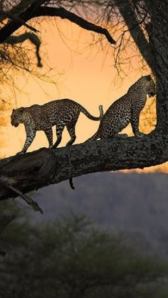 Two leopards enjoying the sunset.