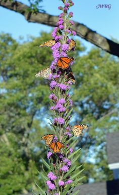 Butterflies swarm liatris ligulistylis during the monarch migration- best butterfly plants