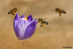 Honeybees (Apis mellifera), bees flying over the crocuses Bee Images, Royalty Free Photos, Bees, Clip Art, Stock Photos, Flowers, Projects, Log Projects, Blue Prints