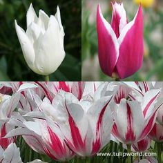 Image Chic Lily Flowering Tulip Collection
