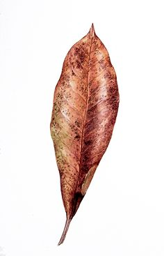Botanical Drawings, Botanical Illustration, Botanical Flowers, Botanical Art, Watercolour Painting, Watercolors, Seed Pods, Blade, Art Drawings