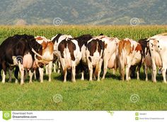 pictures of herds of cows - Google Search