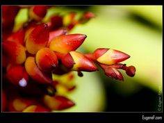 Red Orchid Buds #RedFlowers #freewallpapers