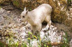 NatureShare - mountain goat kid, Pennington County, SD - photo by Martin Hall