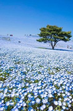 'Baby Blue Eyes' Nemophila Hitachi Seaside Park in Hitachinaka, Ibaraki , Japan