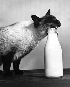 Wocky the Siamese cat prises off the top of a milk bottle in order to get at the cream, 5th February 1957.