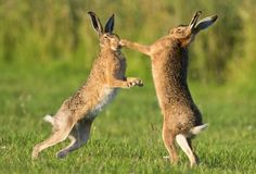Суровые брачные игры зайцев (5 фото) - Фото животных - зайцы