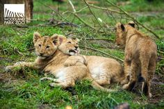 It's official! The #lion #cubs are out daily 11 a.m.-2 p.m., weather-permitting. They're too #cute to miss!