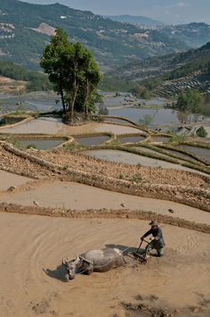 Rice Paddy Terracing along The Red River, Honghe, Yunnan, China
