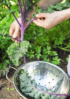 Lehtikaalia on helppo kasvattaa itse siemenistä. Lue ohjeet Viherihasta ja onnistu!