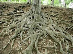 photo of the roots of a big, old tree