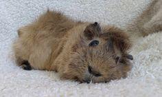Comfy Piggy