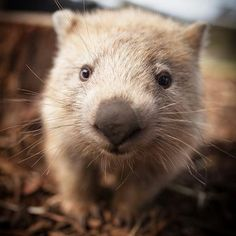 Millie the wombat is such a pretty girl.