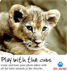 yes, i have played with lion cubs in South Africa (Rhino & Lion Nature Reserve) and because of that I can now say i've been bitten by a lion (cub). Cheetah Pictures, Eagle Pictures, Elephant Pictures, South African Holidays, Baby Animals, Cute Animals, Tiger Wallpaper, Wild Lion, Teaching Themes