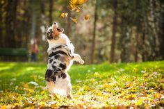 An Australian Shepherd plays with the falling leaves. Photo Credit: Shutterstock *Click to see 24 Stunning Photos of Pets in Fall Foliage