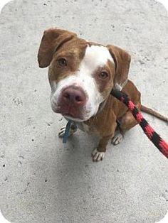 Pear - URGENT - Animal Care & Control Team of Philadephia in Philadelphia, Pennsylvania - ADOPT OR FOSTER - Adult Neutered Male Pit Bull Terrier Mix
