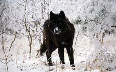 Lobo Negro Geometric Wolf Wallpaper, Animal Wallpaper, Hd Wallpaper, Tamaskan Dog, Wolf Background, Arctic Wolf, Wolf Painting, Timber Wolf, Snow