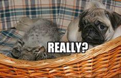 Funny Pug Dog Meme Pun Funny Dog Beds, Funny Dogs, Animal Memes, Funny Animals, Pug Pictures, Pekingese, Pug Love, Dog Memes, Girls Best Friend
