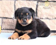 #Rottweiler #Charming #PinterestPuppies #PuppiesOfPinterest #Puppy #Puppies #Pups #Pup #Funloving #Sweet #PuppyLove #Cute #Cuddly #Adorable #ForTheLoveOfADog #MansBestFriend #Animals #Dog #Pet #Pets #ChildrenFriendly #PuppyandChildren #ChildandPuppy #LancasterPuppies www.LancasterPuppies.com Rottweiler Names, Rottweiler Puppies For Sale, Animals Dog, Cute Animals, Lancaster Puppies, One In A Million, Mans Best Friend, Puppy Love, Pets