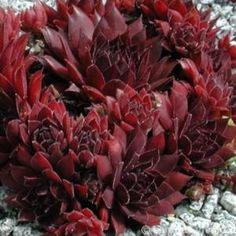 Sempervivum 'Diavolo'