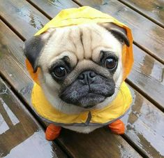 I hate it when they power wash Super Cute Animals, Cute Baby Animals, Baby Puppies, Dogs And Puppies, Doggies, Pugs In Costume, Baby Pugs, Pug Pictures, Puppy Care