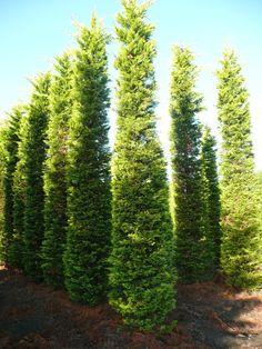 verschiedene zypressen in der gr e vom 300 800cm gro e heckenzypressen gro e heckenpflanzen. Black Bedroom Furniture Sets. Home Design Ideas