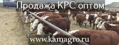 Продажа Крупно рогатого скота оптом по Россий и СНГ живым весом с доставкой!   Наши контакты ООО КамАгро - поставщик КРС по РФ и СНГ :  -Сайт : www.kamagro.ru  -WhatsApp : +7 (965) 6176005 -Skype : hfbkmm -Viber : +7 (965) 6176005 Мы занимаемся продажей  племенных и товарных пород КРС  живым весом ! За 5 лет было реализовано более 15 000 голов скота по Россий и СНГ! С нами сотрудничуют более 1500 фермеров и агроферм. Стоимость зависит от веса и возраста животного. Мы перевозим КРС ( крупно…