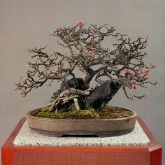 皇居の盆栽