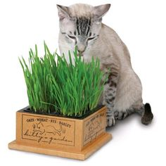 Cat Grass for Indoor Cats