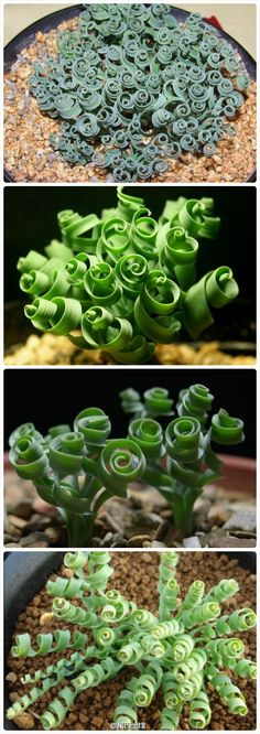 """curly succulent.... Moraea Tortilis - common name spiral grass."""