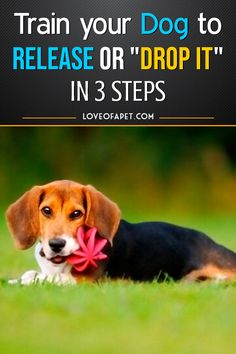 """As a pet owner, having an idea of how to teach your dog the """"drop it"""" command is very important. This command is beneficial in so many ways. Dog Training Techniques, Dog Training Tips, Funny Talking Dog Videos, Dog Commands, Dog Jokes, Dog Information, Cute Funny Dogs, Puppy Names, Beagles"""
