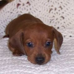 new Ideas dogs and puppies dachshund life Weenie Dogs, Dachshund Puppies, Dachshund Love, Cute Puppies, Cute Dogs, Dogs And Puppies, Daschund, Doggies, Dapple Dachshund