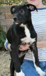 Lucy 17546 is an adoptable Labrador Retriever Dog in Prattville, AL.  Lucy is a 4-month-old female Lab/Terrier mix. She is black with white markings that include a white chest and 4 white socks! Lu...