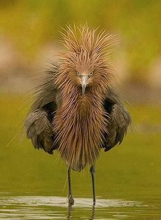 Reddish Egret is a small heron ~ Wild for Wildlife and Nature - That's one mean looking #bird