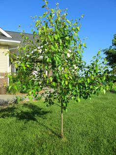 Cultivating Dinner: Crab apple