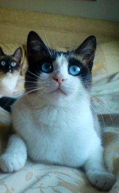 7 Miraculous Clever Tips: Cat Love Illustration cat face tutorial.Siamese Cat Flamepoint sphynx cat with hair. Tonkinese Cat, Sphynx Cat, Siamese Cats, Cats And Kittens, Pretty Cats, Beautiful Cats, Cute Cats, Cat Paws, Dog Cat