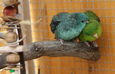 Perruche Catherine - lineolated parrot