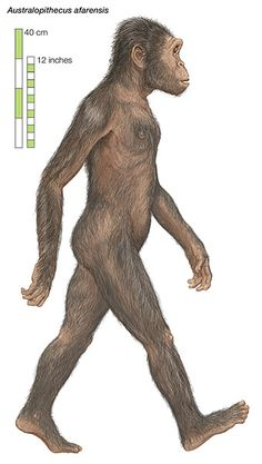 Australopithecus afarensis, an extinct hominid that lived in eastern Africa between about 3.9 & 2.9 million yrs ago