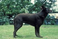 Farm Dog Breeds - The Australian Kelpie is an independent dog breed that is known to herd other animals when not out in the field herding with its master. Farm Dogs, Hobby Farms, Livestock, Pet Care, Dog Breeds, Australia, Puppies, Pets, Farming
