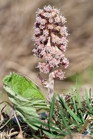 Petasites hybridus (L.) P.Gaertn., B.Mey. & Scherb. - W