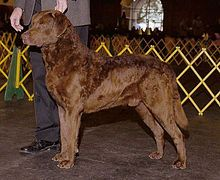 Chesapeake Bay Retriever standing in the show ring. In 1964, it was declared the official dog of Maryland. It is the mascot of the University of Maryland, Baltimore County.
