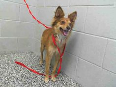 #A471912 Release date 9/4 I am a male, tan and white Chihuahua - Long Haired mix. Shelter staff think I am about 1 year old. I have been at the shelter since Aug 28, 2014. If I am not claimed, after my stray holding period, I may be available for adoption on Sep 04, 2014. ...: City of San Bernardino Animal Control-Shelter. https://www.facebook.com/photo.php?fbid=10203387573867634&set=a.10203202186593068&type=3&theater