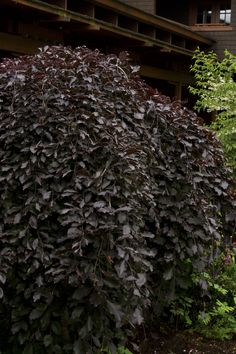 Purple-Leaf Weeping European Beech -- Fagus sylvatica 'Purpurea Pendula' -- ft tall, spreading wider -- full sun -- zones -- photo by Doreen Wynja Landscaping Plants, Garden Plants, Landscaping Ideas, Backyard Plan, Backyard Ideas, Weeping Trees, Monrovia Plants, European Garden, Gothic Garden